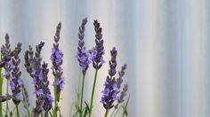 Lavender in my garden My Photos, Glass Vase, Lavender, Garden, Plants, Home Decor, Garten, Decoration Home, Room Decor