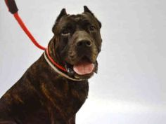 Manhattan center GUEROA – A1085214 MALE, BR BRINDLE, MASTIFF / AM PIT BULL TER, 3 yrs STRAY – STRAY WAIT, NO HOLD Reason STRAY Intake condition UNSPECIFIE Intake Date 08/12/2016, From NY 10034, DueOut Date08/15/2016,