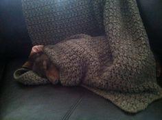 Coco Bean Looks just like my Ellie-she likes to sleep wrapped up like a burrito too! ♥