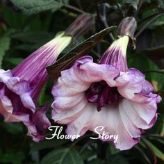 30 black angel trumpet datura seeds 870-gothic ~ beautiful gardens, smell great