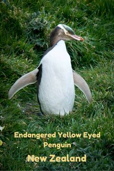 Endangered yellow-eyed penguins on the South Island of New Zealand. Read the article for more photos and information. via @Rhondaalbom