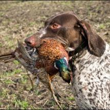 German Short-hair Pointer, hunting season is getting close!!