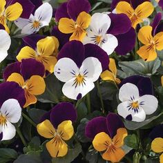 Viola Penny Jump Up Mix F1