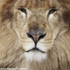 Posted December 2018 A lion at a US animal conservatory has escaped a locked area and killed a worker. The incident happened while an enclosure at… The Lion Sleeps Tonight, Animal Rescue Site, Mountain Lion, Animal Protection, Create Awareness, Pumas, Big Cats, National Geographic, A Team