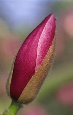 Capullo de Magnolia 'Rustica Rubra'  Fotografia de John Glover, uno de los primeros y de los mas importantes fotografos de jardin del Reino Unido
