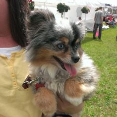 pomeranian mini australian shepherd mix for sale 1000 images about aussie pom love on pinterest 2184