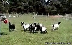 Fainting goats....one day I will own a few.