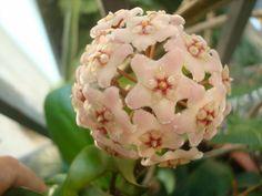 Hoya Compacta Plant -