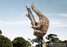 La giraffa di cui sopra, ha deciso di dimostrare di essere un eroe completo. Sa anche arrampicarsi!