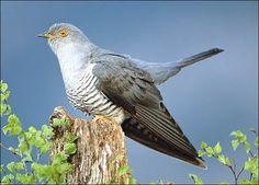 Käki on lintu, ja se on pesäloinen eli se munii toisten pesiin. Käen ruokavalioon kuuluu hyönteiset ja toukat ja madot