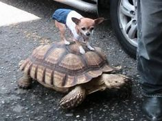 Slow and steady wins the race...Chihuahua Hitches a Ride on a Tortoise