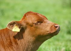 Image result for calf head