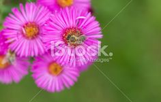 #Honeybee On #Pink #Flower With #Blurry #Green #Background @iStock #iStock #nature #macro #flowers #animals #insects #focus #bokeh #colors #stock #photo #download #portfolio #hires