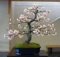 Bonsai trees and associated plants. Focussing on styling bonsai, showing member's trees, bonsai care and general help. Flowering Bonsai Tree, Bonsai Tree Types, Indoor Bonsai Tree, Bonsai Plants, Bonsai Garden, Bonsai Forest, Plantas Bonsai, Blossom Trees, Cherry Blossom