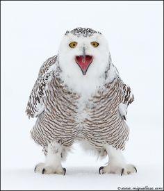 Wild Snowy Owl by Miguel Lasa