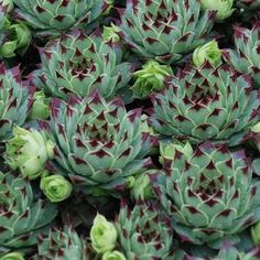 Sempervivum Chick Charms Mint Marvel - Buy Hen and Chicks Perennials Online--Looking for a fresh addition to your succulent garden?  Give Mint Marvel™ a try!  Mint Marvel™ is a must have in your Chick Charms® collection. Big on color as well as appearance,  Mint Marvel™ forms a large rosette that is blue green in color tipped in a burgundy wine color.
