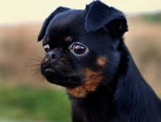 Griffon dogs on Pinterest   Griffon Bruxellois, Brussels and ...
