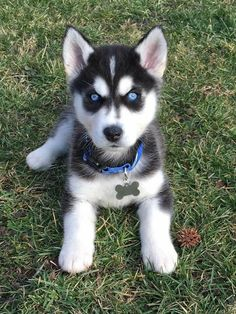 Find Out More On Athletic Siberian Huskies Grooming siberianhuskyowner huskeycollie siberianhuskyinformation is part of Siberian husky puppy - Cute Husky Puppies, Puppy Husky, Siberian Husky Puppies, Siberian Huskies, Huskies Puppies, Lab Puppies, Cute Baby Husky, Pomsky Dog, Retriever Puppies