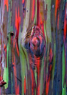 桉樹 - 其中一棵桉樹的近照顯示出樹皮上的橙色、紫色和綠色斑點。他表示,曾經他並不能確定,在現實生活中一張照片是否能夠充分展現桉樹的這種驚人效果。
