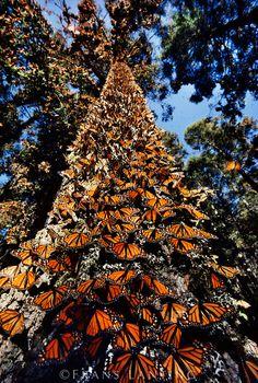 Monarch [Danaus plexippus] butterflies on tree trunk, , Michoacan, Mexico