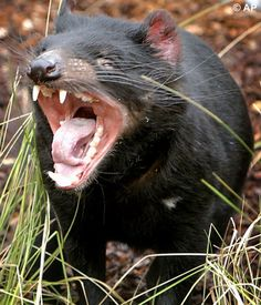 The Tasmanian Devils are the world's largest surviving carnivorous marsupial. They can be identified by their short thick tail, relatively large broad head and thickset squat build. Adult males weigh about 12 kg and can stand up to 30 cm high at the shoulder. They are scavengers but also kill prey as large as wallabies and sheep. Blessed with powerful jaws and sharp teeth, they completely devour their prey's bones, meat and all. They are famous for their rowdy communal feeding at carcasses.