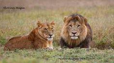 Lions at Ekorian's Mugie Camp