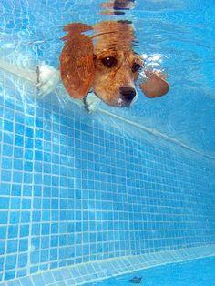 Beagle looks into a pool #dogs