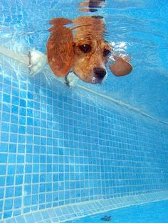Beagle looks into a pool