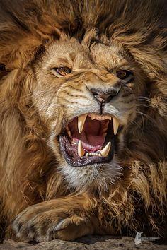 Lion - Photoshop work www.fb.com/fotostyleschindler www.fotograf-straubing.de www.instagram.com/fotostyle_schindler #BigCatFamily