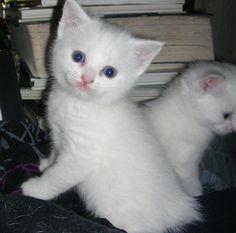 Manx kitty
