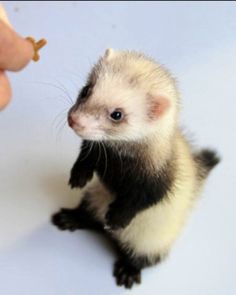 Ferrets are adorable aren't they?
