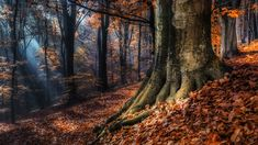This HD wallpaper is about orange leafed trees\, landscape photography of orange leaf trees, Original wallpaper dimensions is file size is Autumn Forest, Tree Forest, Autumn Trees, Black Forest, Fall Leaves, Tree Wallpaper, Nature Wallpaper, Forest Wallpaper, Original Wallpaper