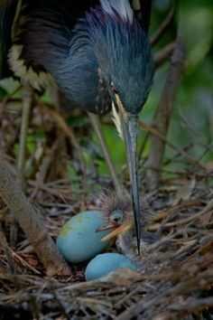 heron and chick -héron et poussin Pretty Birds, Beautiful Birds, Animals Beautiful, Cute Animals, Beautiful Pictures, Kinds Of Birds, All Birds, Love Birds, Angry Birds
