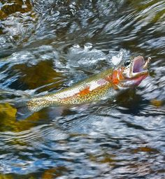 fly fishing- photo work jim lampros  Rainbow Trout