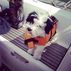 Sailing Tibetan terrier pup Charlie
