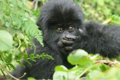 The Diane Fossey Gorilla Fund International - Adopt a gorilla, anti-poacher or anti-poaching patrol and help us protect gorillas.