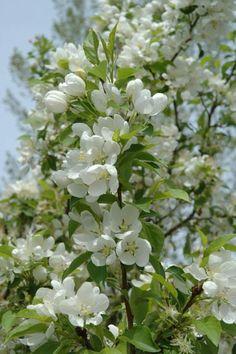 Spring - snow crabapple tree flowers