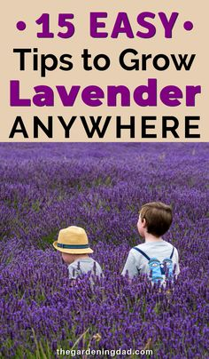front garden Are you interested in learning How to Grow Lavender If so, this article will provide you 15 EASY Tips to growing lavender ANYWHERE! Lavender Uses, Lavender Garden, Lavender Fields, Lavender Flowers, Growing Lavender From Seed, Lavender Plants, Purple Roses, Organic Gardening, Gardening Tips