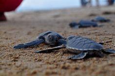 Baby sea turtles at Ujung Genteng Beach in Cibuaya, Indonesia