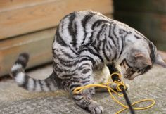 Like a white tiger??? My next cat ;) --- Silver toyger!