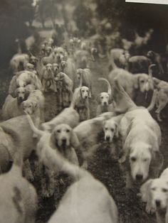 Lady Curre's Itton fox-hounds 1951
