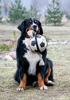 #Bernese #Mountain #Dog - future football player