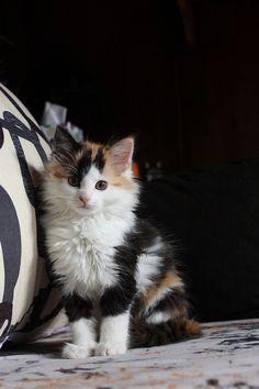 What a gorgeous calico kitty!!!