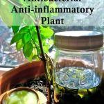 Plantain Salve Recipe - Nature's Antibiotic  Plant