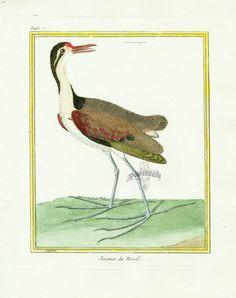 - high resolution image from old book.Size in pixels: Vintage Birds, Vintage Prints, Vintage Bird Illustration, Bird Artists, John James Audubon, Natural History, Hand Coloring, Rooster, Antiques