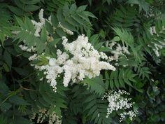 Sorbaria sorbifolia - Fausse Spirée