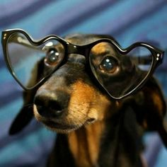 The better to see you with...  #doxie #cute #dachshund