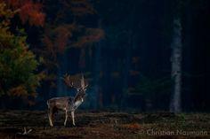 Kapitaler Damhirsch in der Morgendämmerung | Naturphotos - Christian Naumann