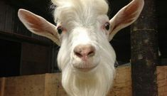 18 Goats You Can't Believe Even Exist - The Dodo