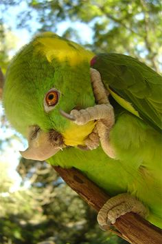 The Yellow-naped Amazon Parrots. This breed of parrot is a very sweet animal.  However, they usually attach closely to only one person at a time.  I have one of these also, and she is a sweetheart:).